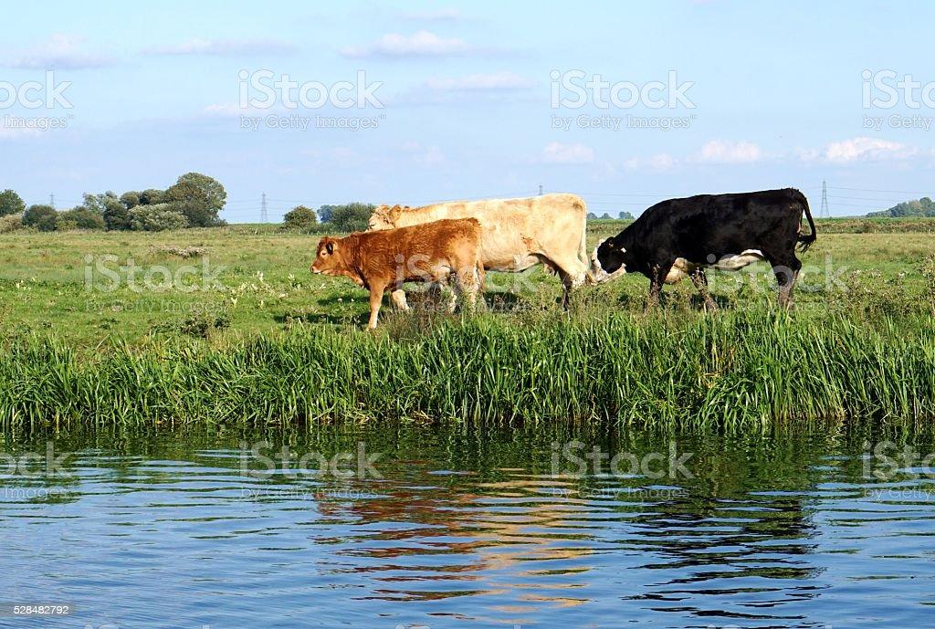 Three Cows Walking Along A Riverbank stock photo
