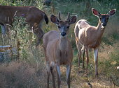 Three curious deer investigate a photographer