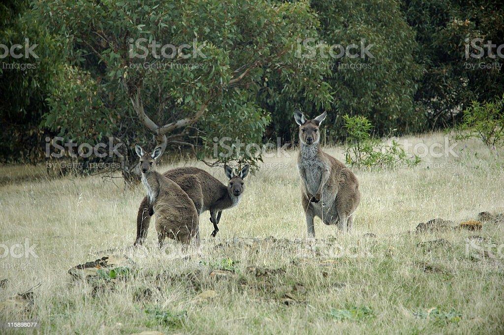Three Curious Kangaroos stock photo