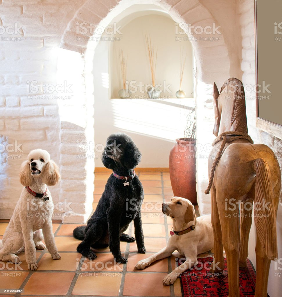 Three Cute Dogs, Labrador and Poodles stock photo