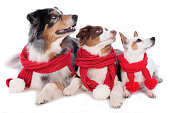 Three cute dogs with red shawls side by side