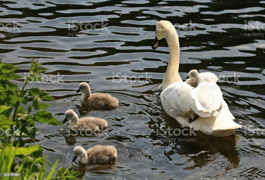 Three Cygnets Foraging for Food stock photo