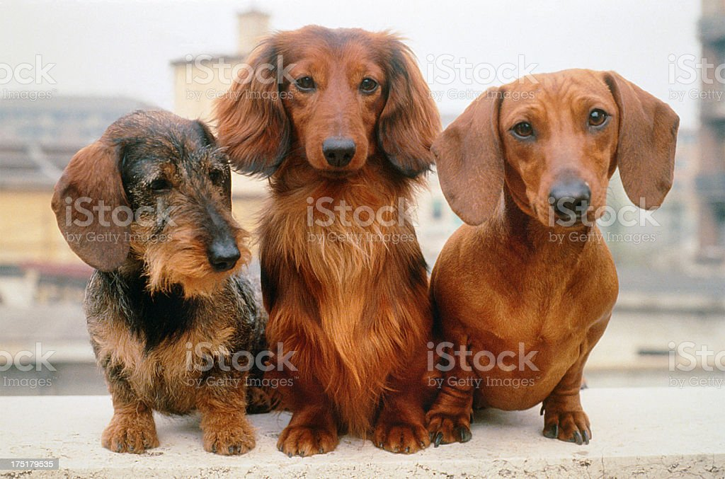 Three dachshund dogs: wire, long and short haired, portrait stock photo