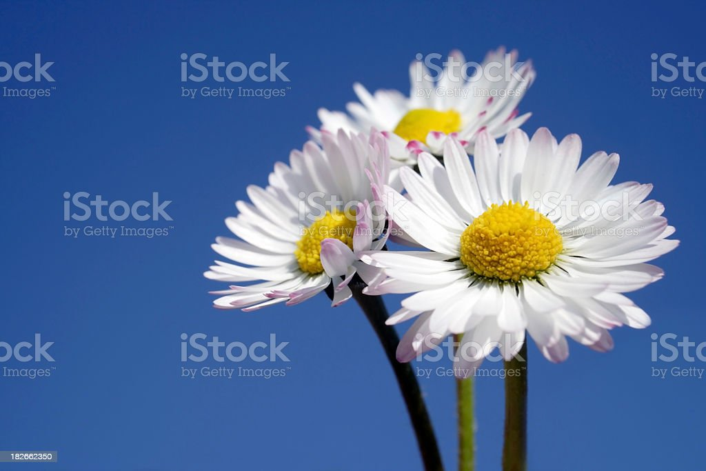 three Daisies against blue sky royalty-free stock photo