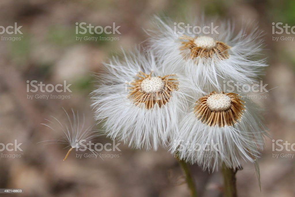 Three dandelions royalty-free stock photo