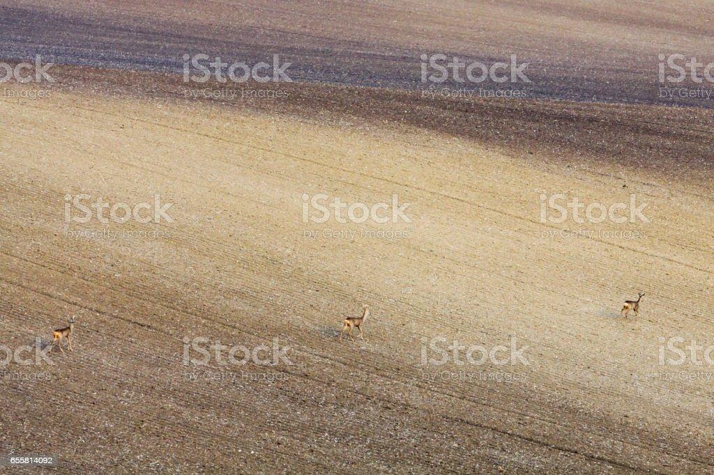 Three deer running through Moravian fields in Czech Republic. stock photo