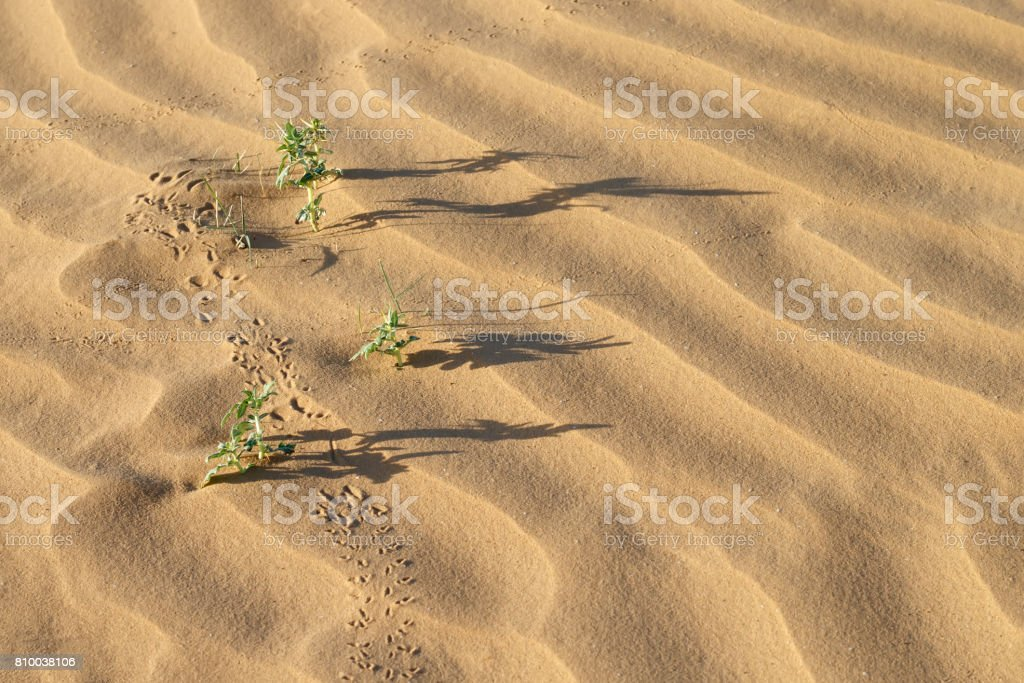 three desert plant (Xanthium spinosum),  long shadows and traces on sand dunes at summer evening stock photo