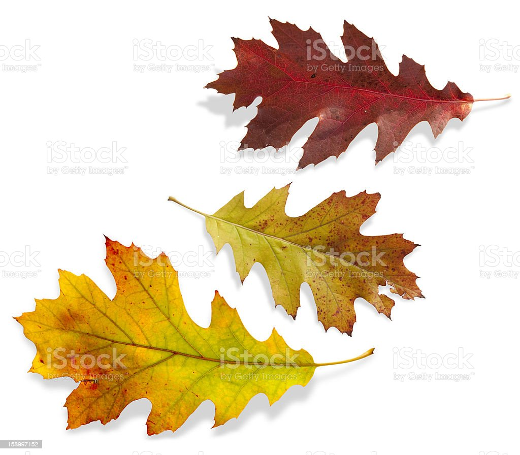 Three different colors of fall leaves stock photo