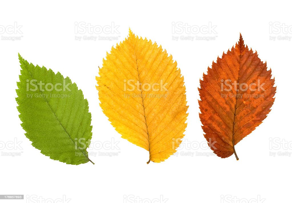 Three different coloured leaves of elm tree stock photo
