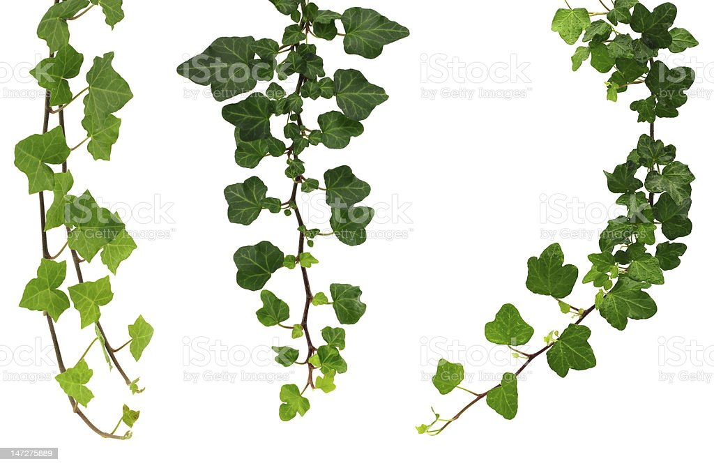 three different green ivy twigs isolated on a white background stock photo