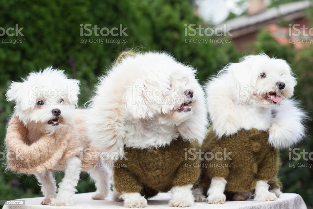 Three dog with clothes royalty-free stock photo