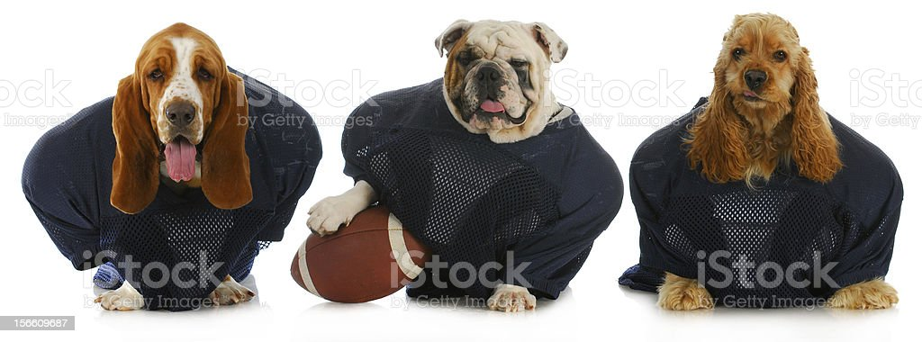 Three dogs dressed in blue tops holding a brown football stock photo