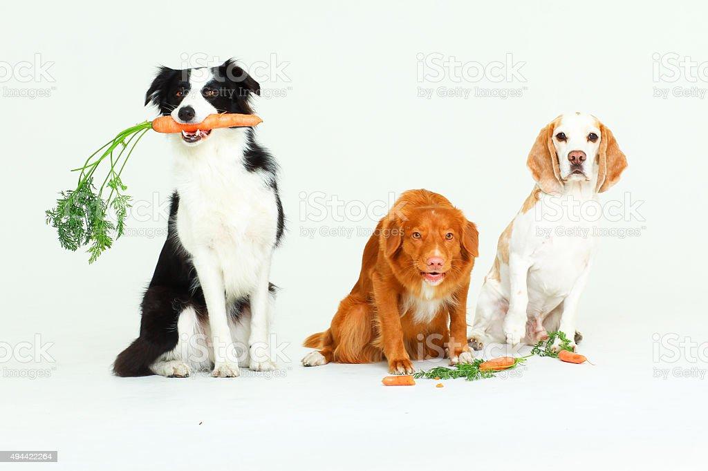 Three dogs holding carrots stock photo