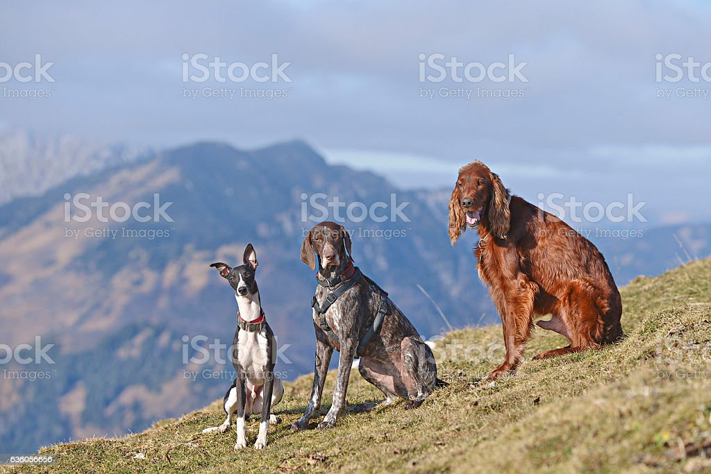 Three dogs in nature mountains stock photo