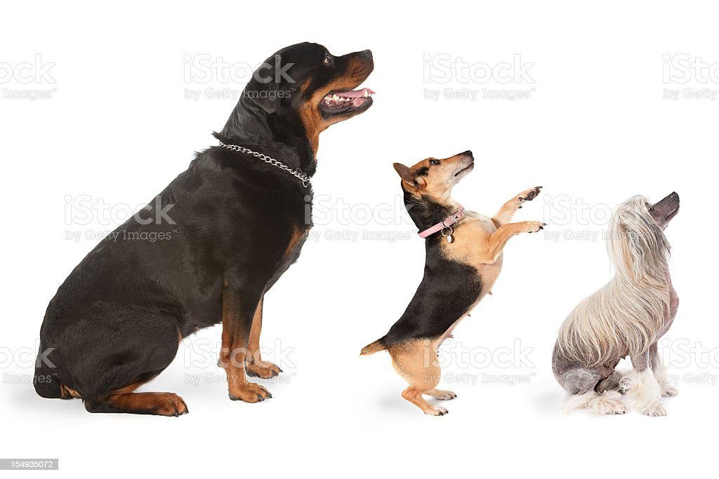 Three dogs looking to the same direction royalty-free stock photo