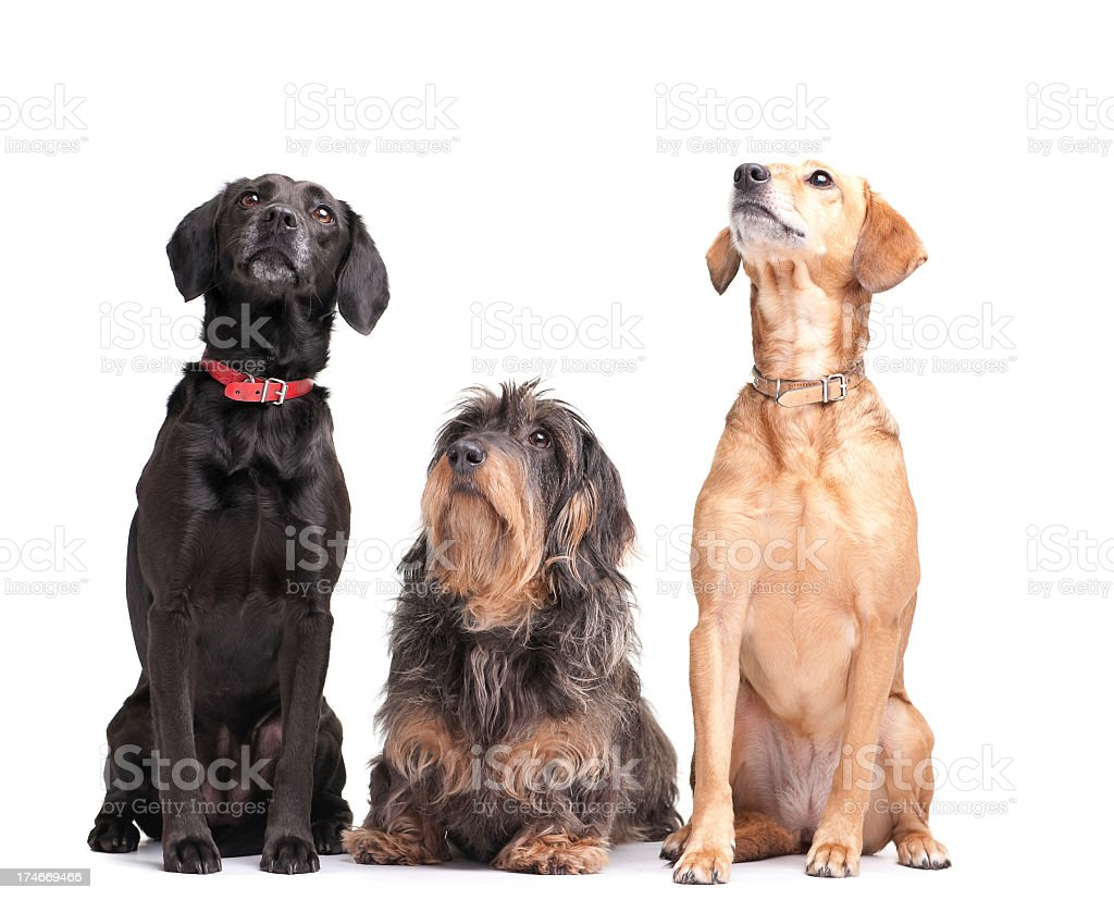 Three dogs looking up representing best friends royalty-free stock photo