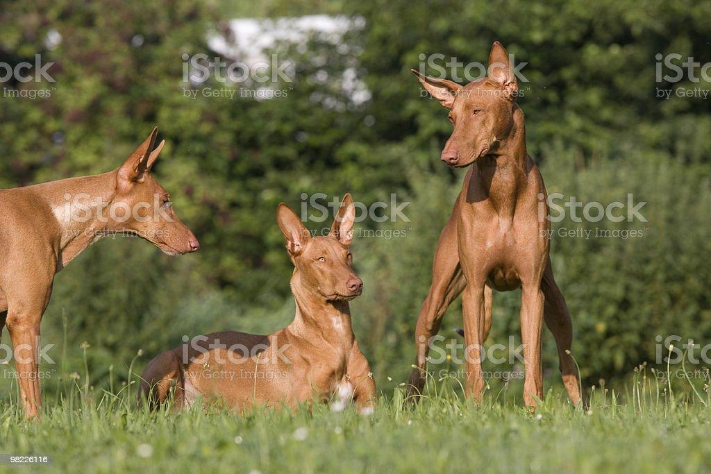 Three dogs - Pharaoh Hound royalty-free stock photo