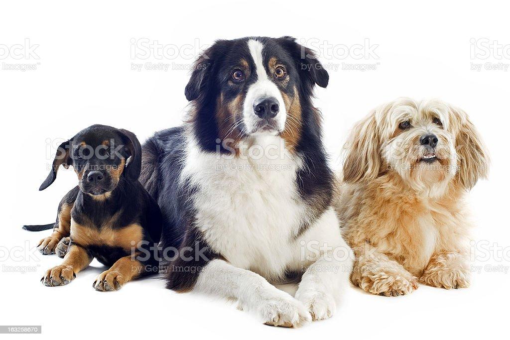 three dogs royalty-free stock photo