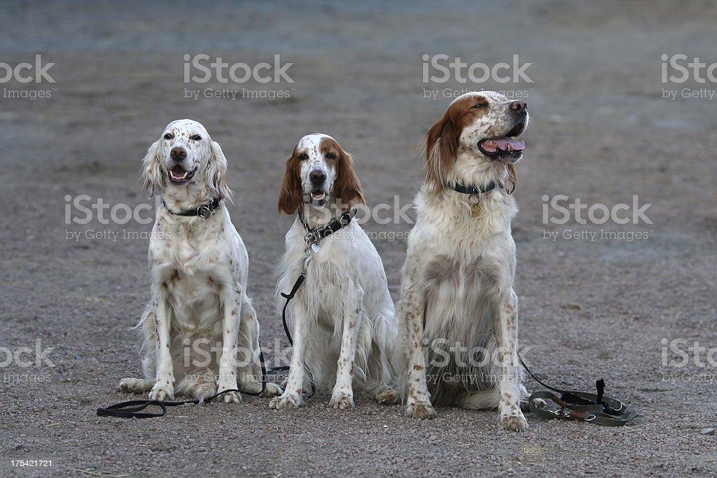 Three Dogs Posing royalty-free stock photo