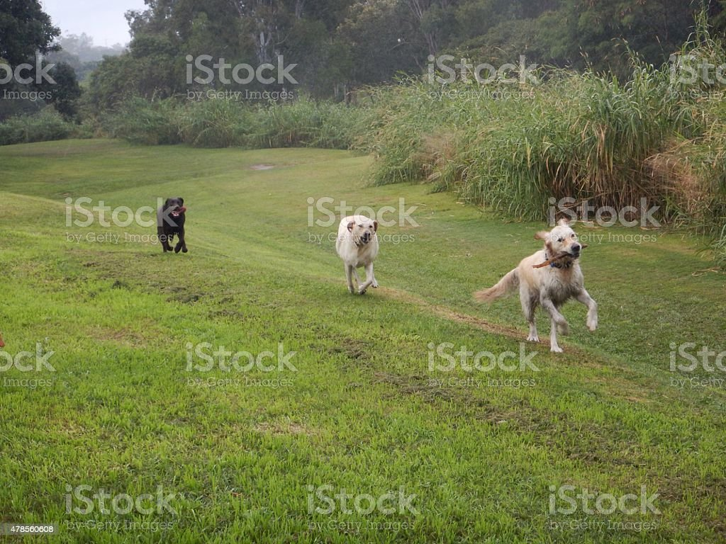 Three dogs running through parklands stock photo