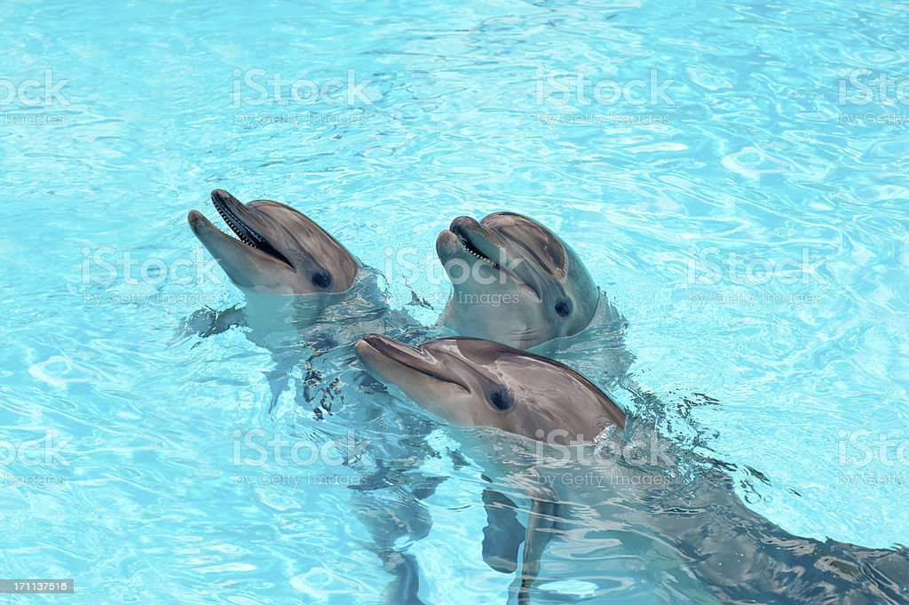 Three Dolphins in a blue water stock photo