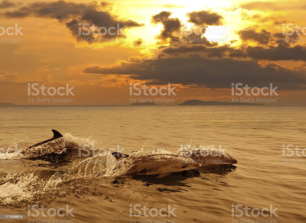Three dolphins playing in the sunset sea stock photo