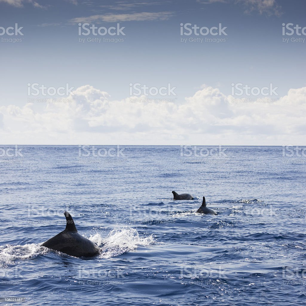 Three Dolphins Swimming in Ocean royalty-free stock photo