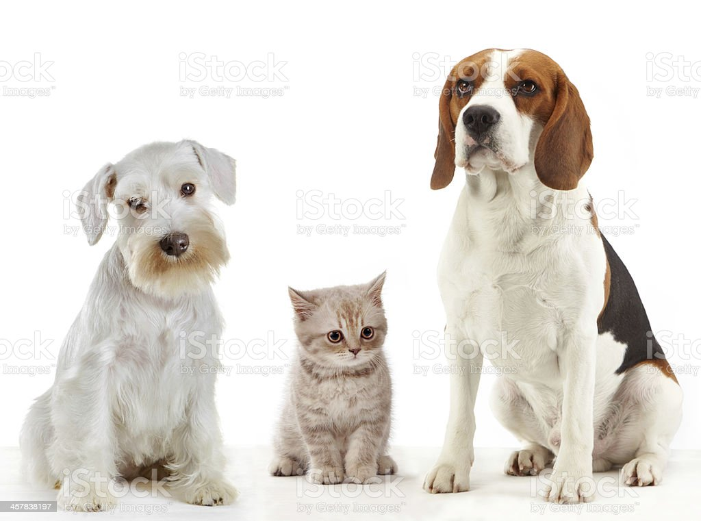 three domestic animals cat and dogs stock photo