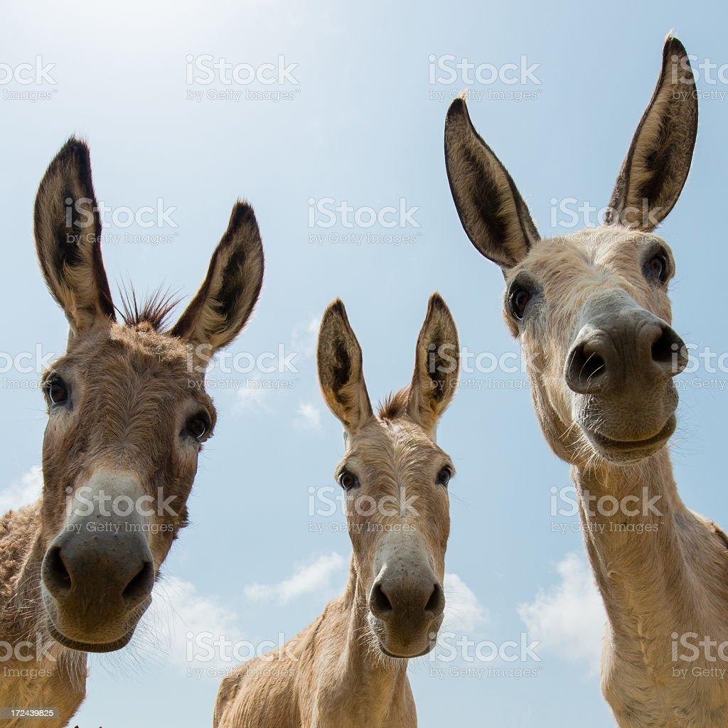 Three donkeys looking down to the camera stock photo