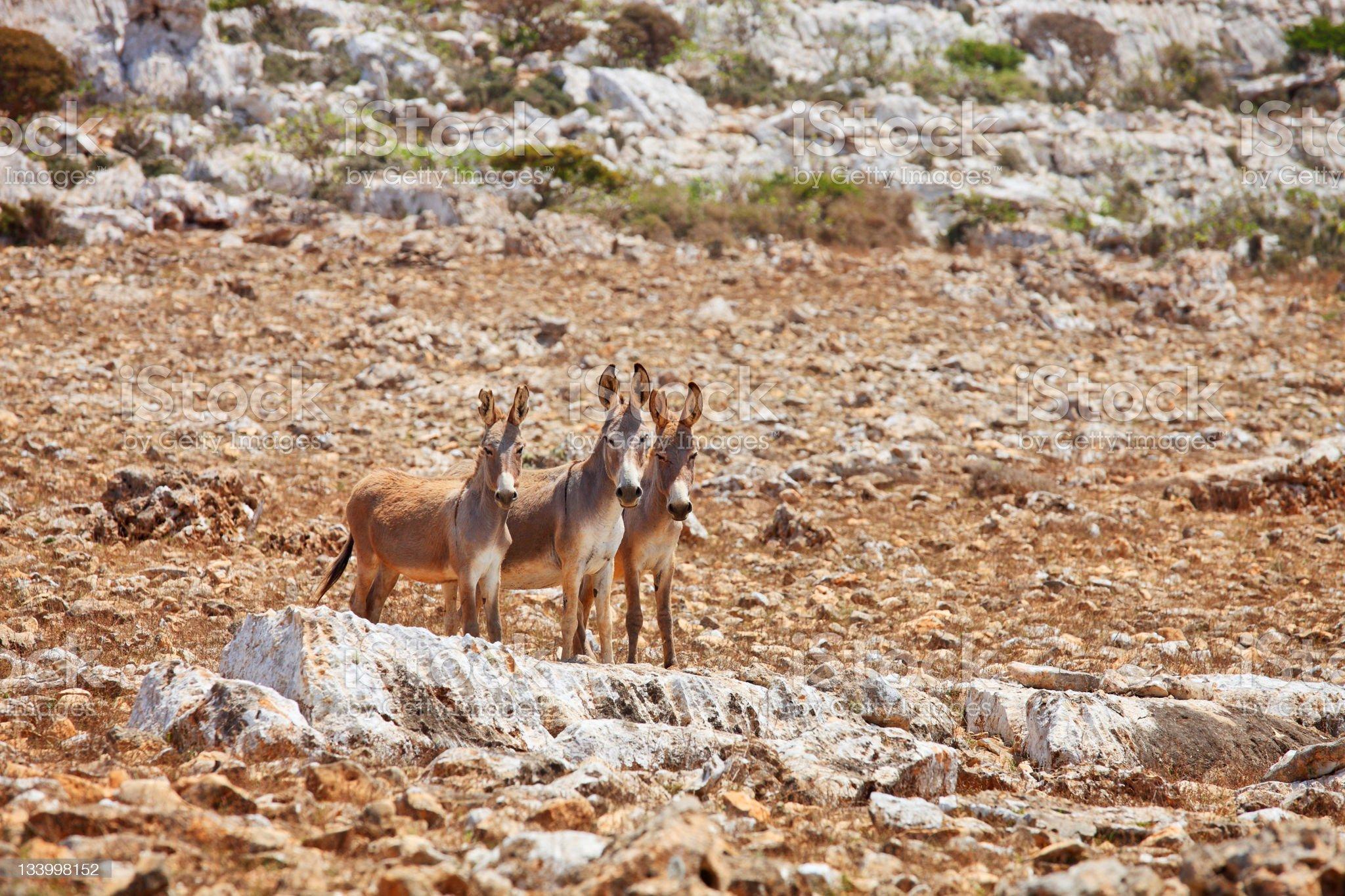 Three donkeys mule royalty-free stock photo