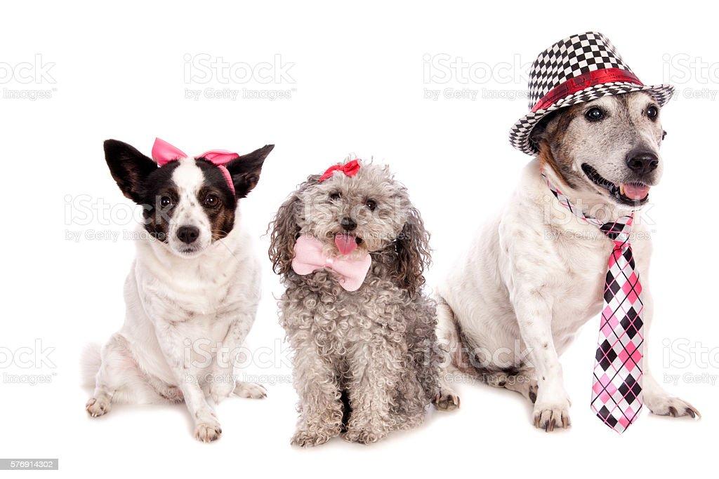 Three Dressed Dogs stock photo