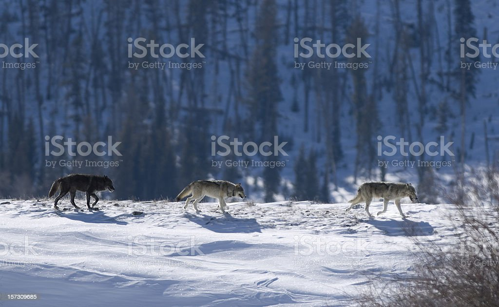 Druid wolf pack of gray timber wolves on snow Yellowstone stock photo