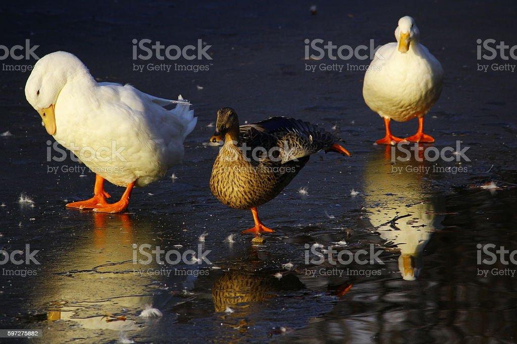 three duck stock photo
