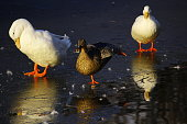 three duck