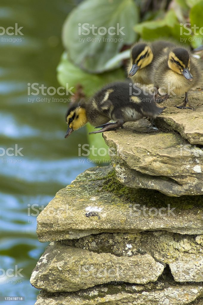 Three Ducklings Prepare To Jump Into The Water royalty-free stock photo
