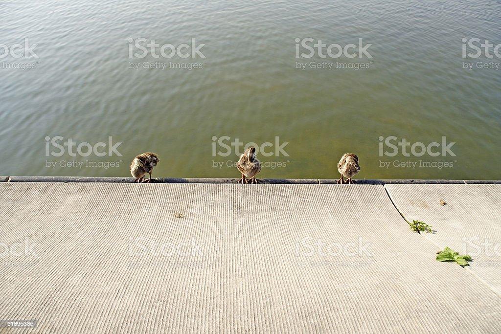 Three ducks in a row royalty-free stock photo