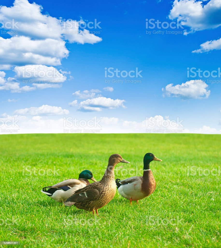 three ducks on a green meadow stock photo