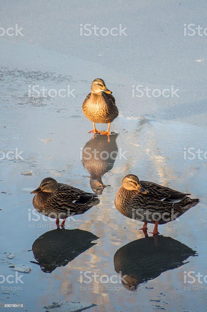Tre anatre su ghiaccio palude foto stock royalty-free