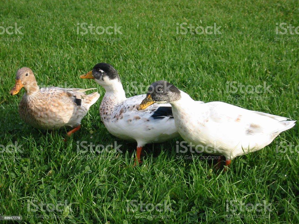 Three ducks on the grass royalty-free stock photo