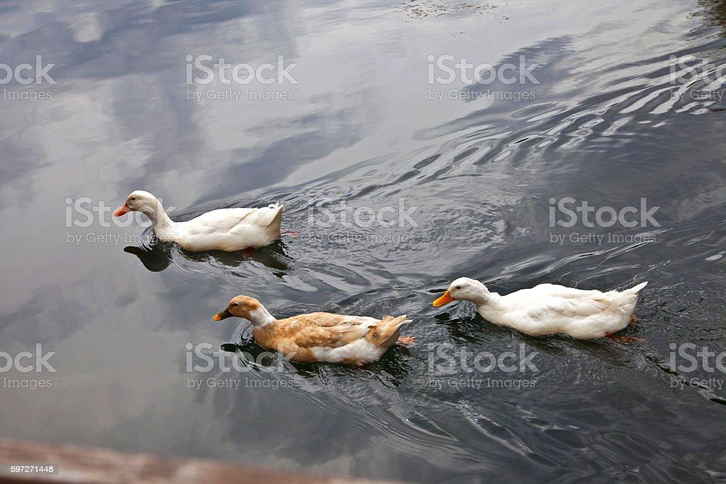 Three ducks swimming in the river stock photo