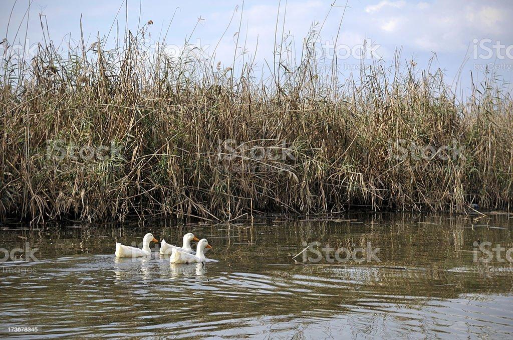 three ducks were swimming in the lake royalty-free stock photo