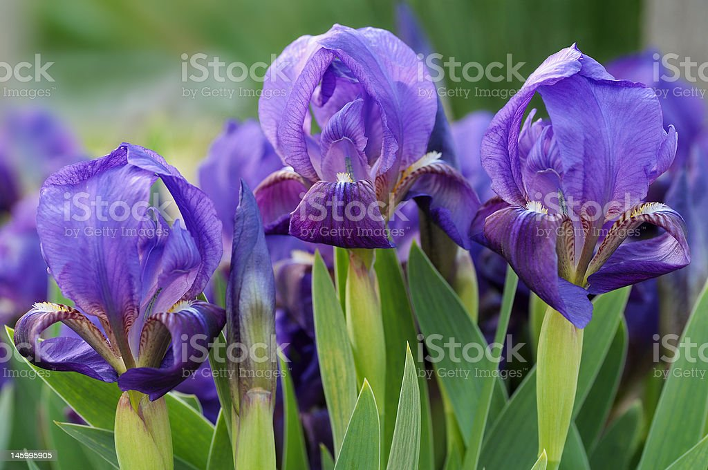 Three dwarf iris stock photo