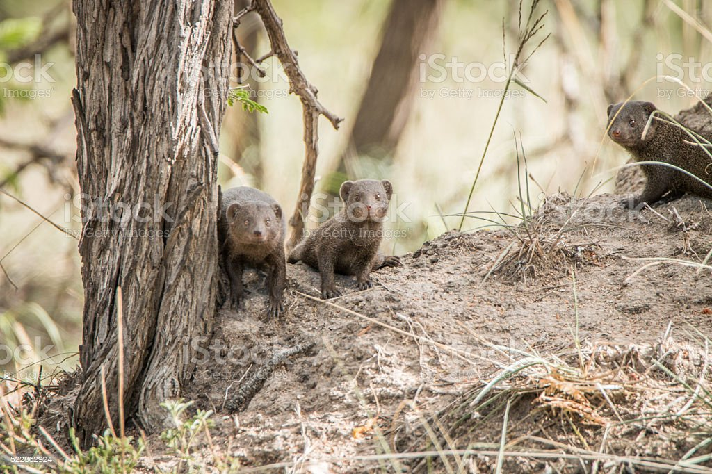 Three dwarf mongoose in the Kruger National Park. stock photo