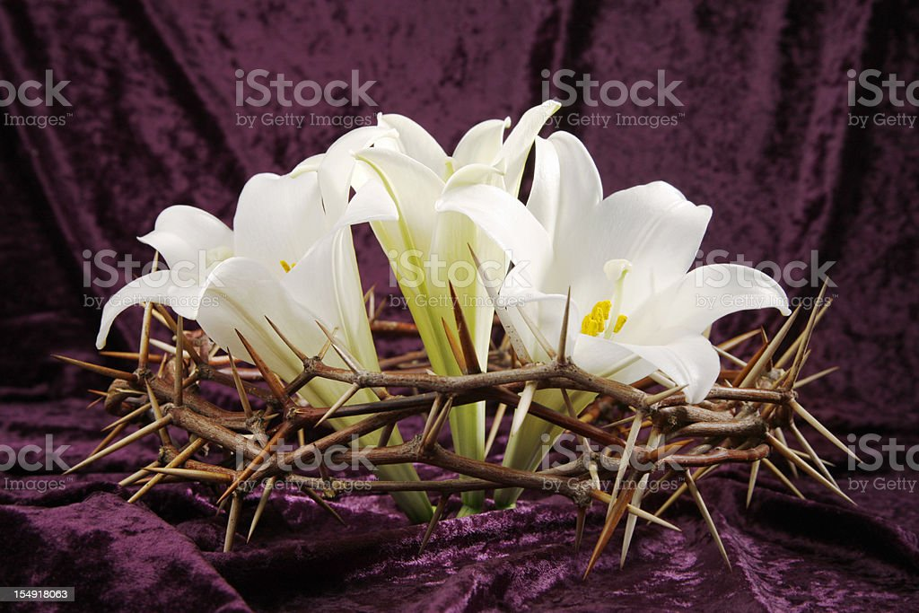 Three Easter Lilies in Crown of Thorns royalty-free stock photo