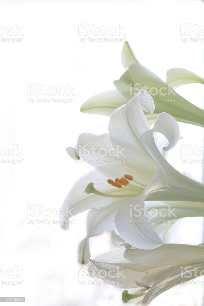 Three Easter Lilies stock photo