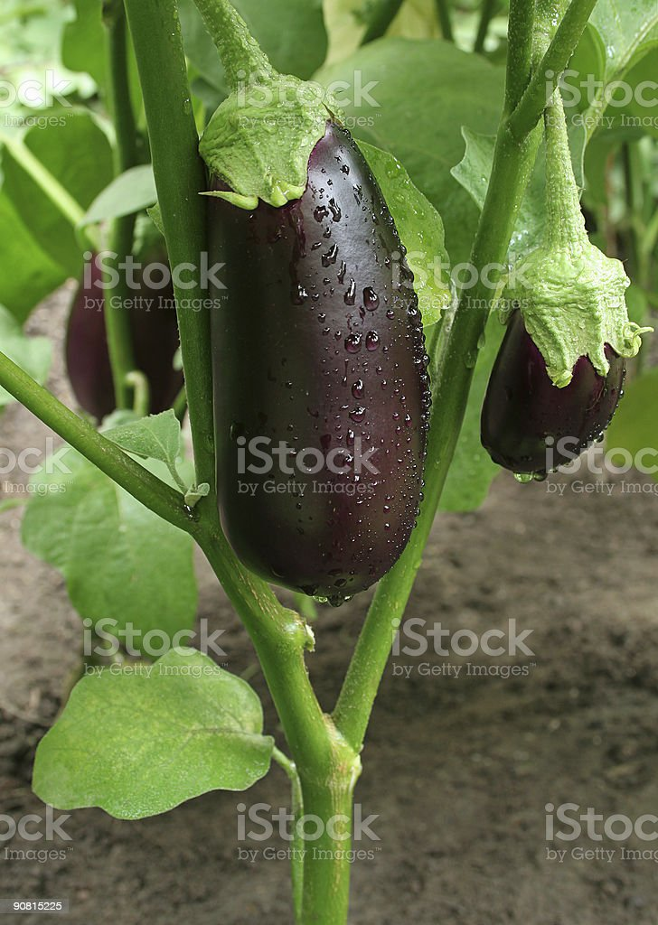 three eggplants with drops stock photo