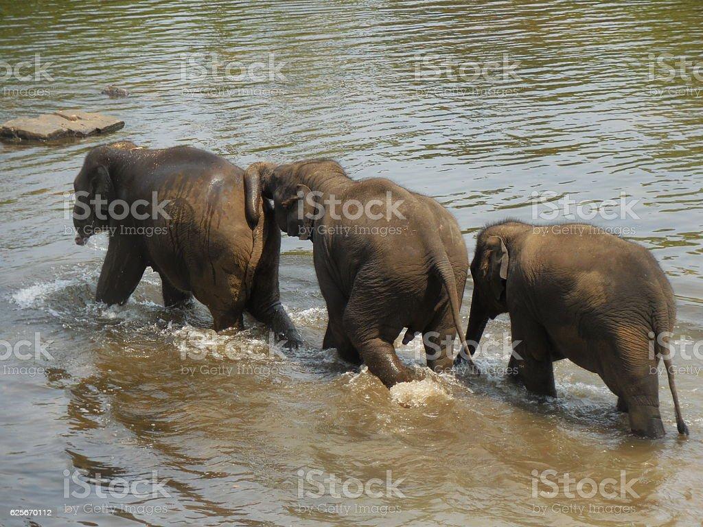three elephant calves stock photo