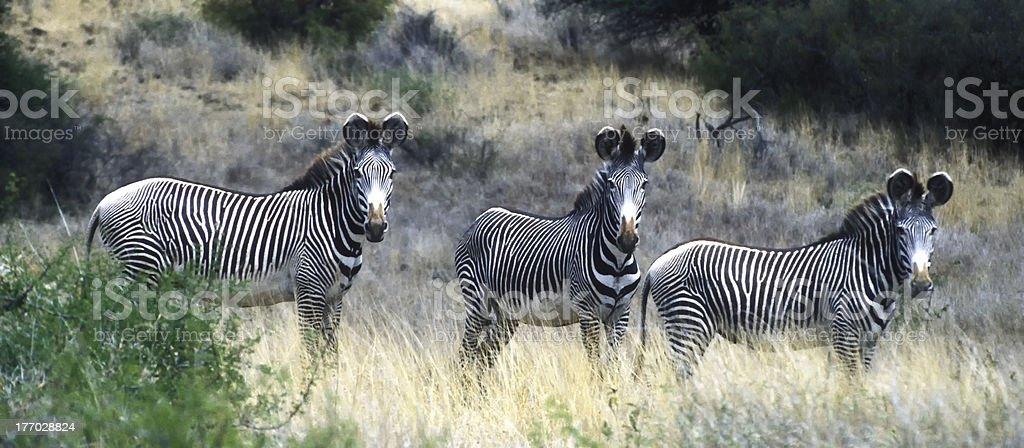 Three endangered Grevy's zebras, Kenya stock photo