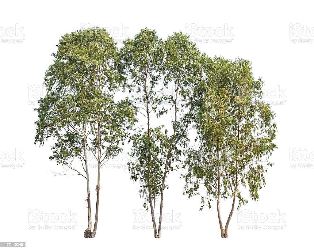 Three Eucalyptus trees, tropical tree stock photo