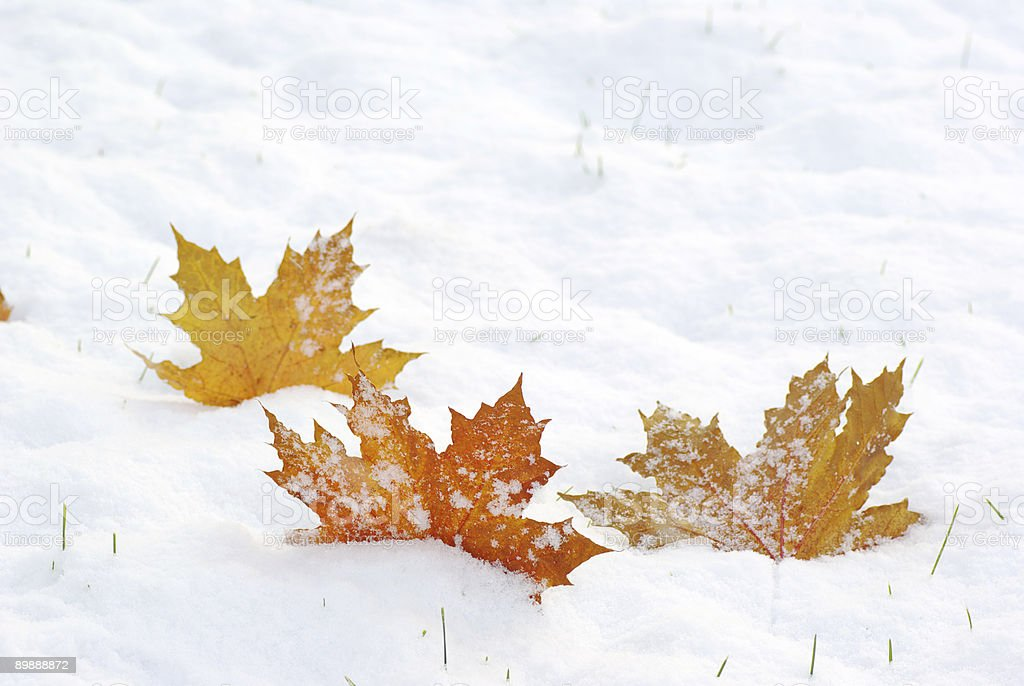 Three fallen leaves on a snowy textured surface royalty-free stock photo